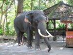 Slon indický, jen tak na řetězu