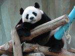 Přežraná panda odpočívá